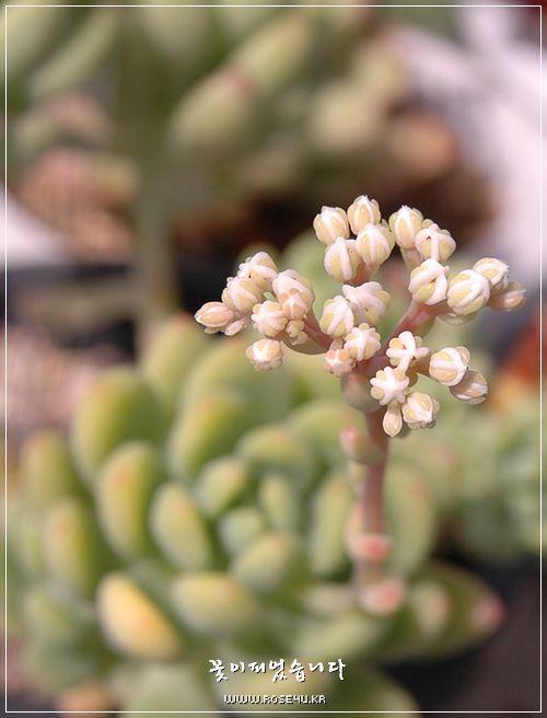 춘맹의 꽃봉오리