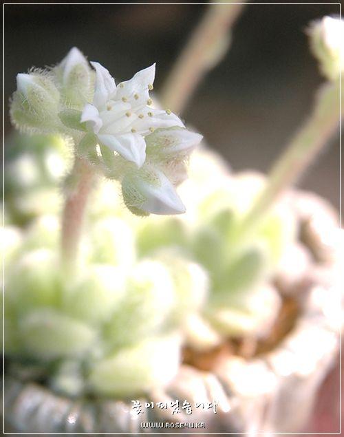 힌토니의 흰별꽃