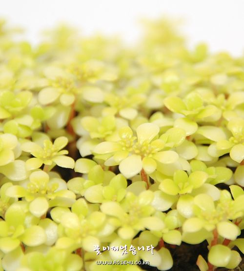 황금잎세덤