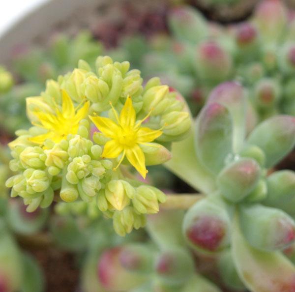 애심의 사랑스러운 노란꽃