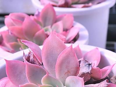 핑크빛 도밍고