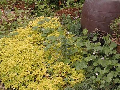 황금잎세덤의 무더미