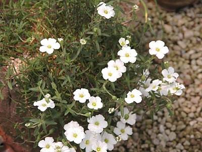 하얀 계단꽃이 풍성하고 아름다운 남도자리