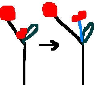 [액생분지]잎 겨드랑이에 싹(빨간색)을 만듭니다 ㅡ 시간이 지나면 싹은 자랄것이고 줄기(파란색)가 생깁니다