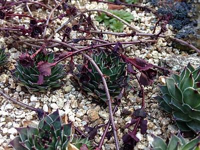 단풍잎세덤과 바위솔