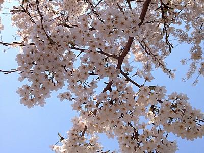 만개한 벚꽃이 나타났어요