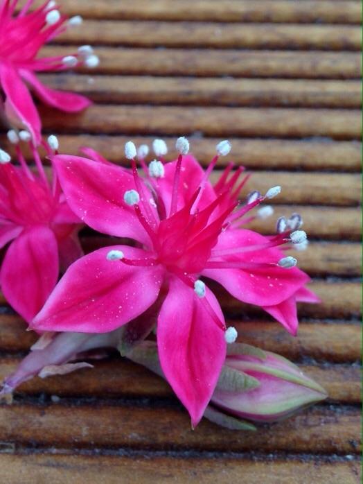 원종벨루스 꽃