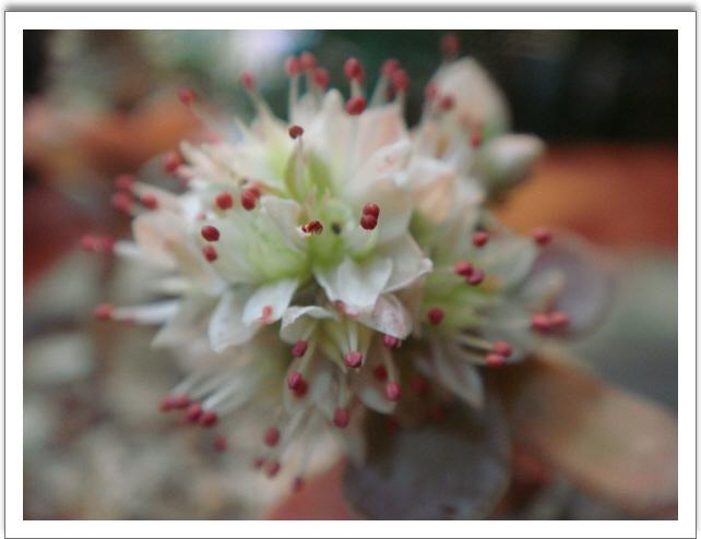 연화바위솔 꽃입니다.