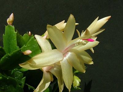 가재발선인장 꽃이 피었습니다.(노랗게 나왔는데 흰색입니다~)