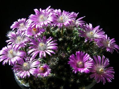 예쁜 보라색 꽃을 피운 덴섬~