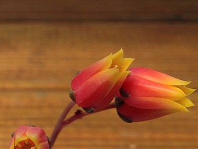홍대화금 꽃