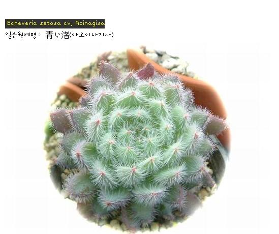 <<아오이나기사 - Echeveria setosa cv. Aoinagisa>>