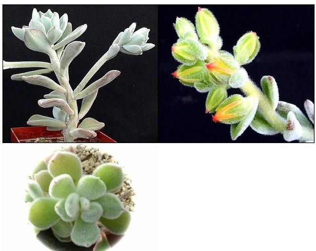 <<백금황성(왕비배,프로스티) - Echeveria pulvinata cv. Frosty>>