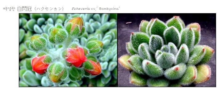 <<백섬관 - Echeveria cv. Bombycina>>