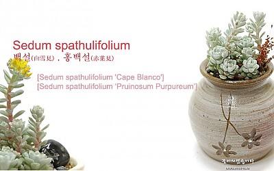 [Sedum spathulifolium-백설, 홍백설]