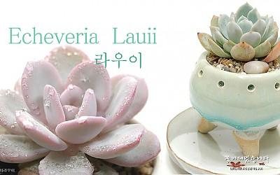 [Echeveria lauii-라우이]