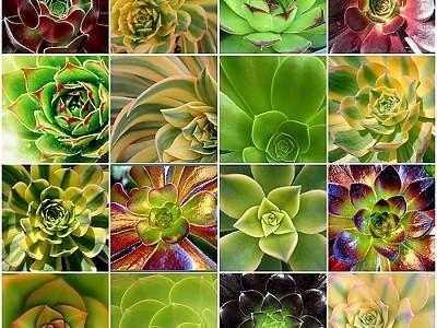 -다양한 Aeonium속 다육식물들- (사진출처:http://www.flickr.com/photos/ariesandrea/549313878/)