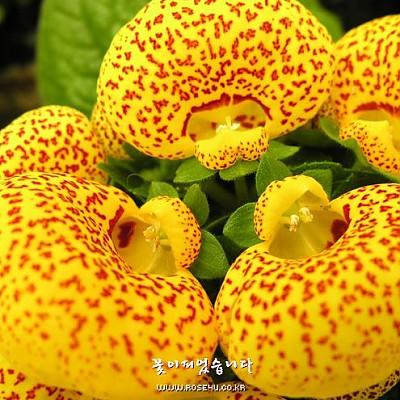 복주머니꽃(칼세올라리아)-초화류