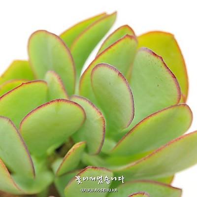 아보레센스(Crassula arborescens)