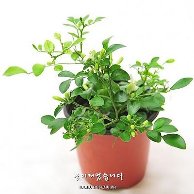 오렌지자스민(Marraya paniculata)-초화류