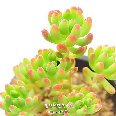 팔천대(八千代-Haworthia margaritifera variegatis)
