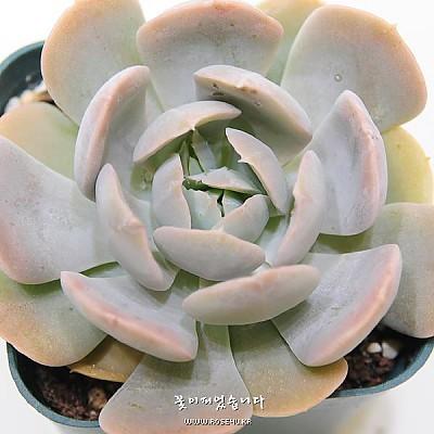 런요니(Echeveria runyonii)