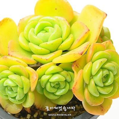 릴리패드(Aeonium LilyPad)