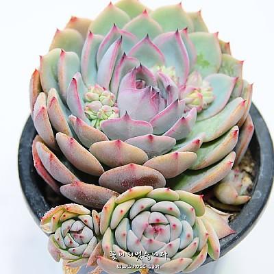 프리즘( Echeveria cv. prism)