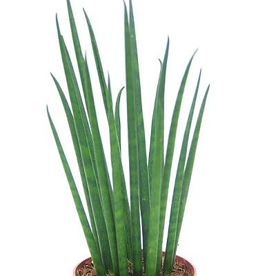 산세베리아 스투키(가는잎스투키)
